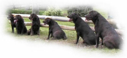 Chocolate Labrador bitches - Jimjoy Labradors