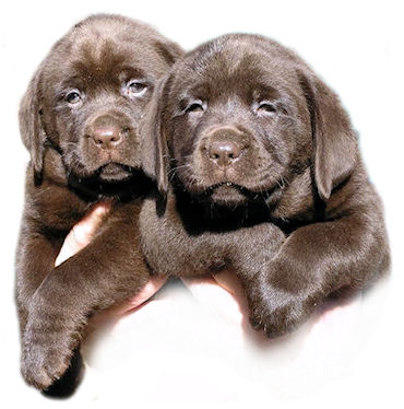 Chocolate puppies bred by Jimjoy