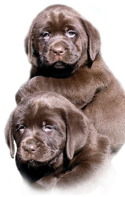 Chocolate Labrador puppies bred by Jimjoy Labradors