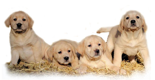 Yellow Labrador puppies bred by Jimjoy