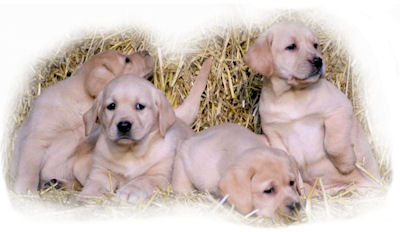 Yellow Labrador puppies bred by Jimjoy Labradors